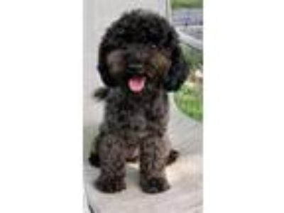 Adopt Zoe Belle a Bichon Frise / Toy Poodle / Mixed dog in Davie, FL (25530686)