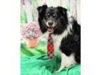 Adopt Frank a Black Australian Shepherd / Mixed dog in Twin Falls, ID (25300855)