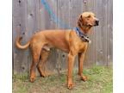 Adopt Cody a Rhodesian Ridgeback / Rottweiler / Mixed dog in Great Bend