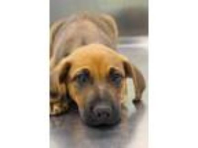 Adopt Melon a Red/Golden/Orange/Chestnut Shepherd (Unknown Type) / Mixed dog in