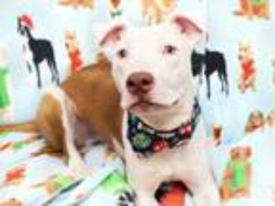 Adopt LUDO a Pit Bull Terrier