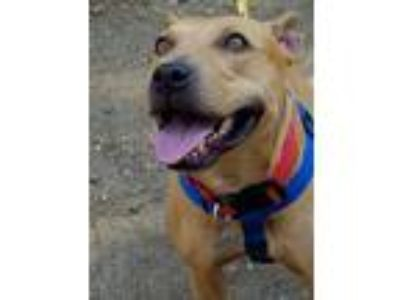Adopt Tex a Tan/Yellow/Fawn - with White Pit Bull Terrier / Labrador Retriever /