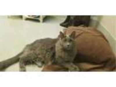 Adopt SAMMIE a Gray or Blue Domestic Longhair / Mixed (long coat) cat in Rancho