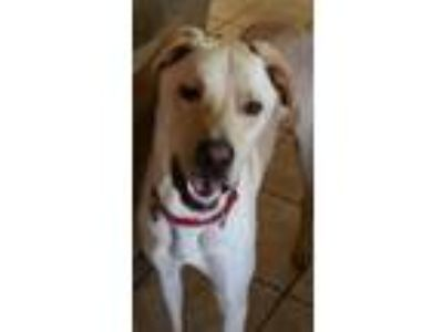 Adopt Bunk a Tan/Yellow/Fawn - with White Labrador Retriever / Greyhound dog in