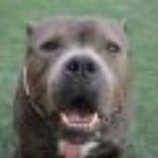 Maggie Pit Bull Terrier Dog
