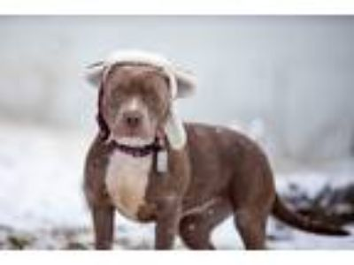 Adopt Karson a Gray/Silver/Salt & Pepper - with White Pit Bull Terrier /