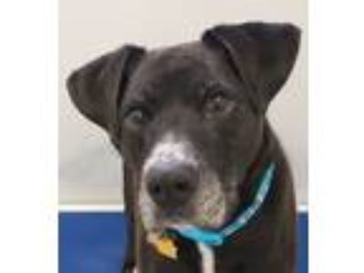 Adopt Sport a Black - with White Boxer / Labrador Retriever / Mixed dog in