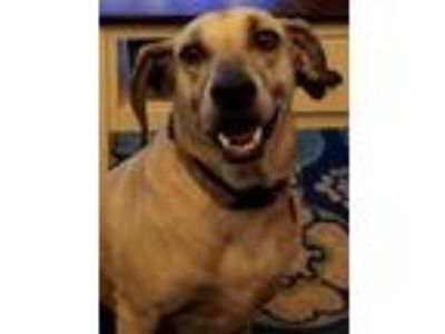 Adopt Gracie a Catahoula Leopard Dog, Labrador Retriever