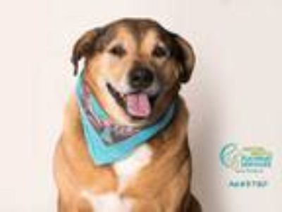Adopt *FRED a Tan/Yellow/Fawn - with White Labrador Retriever / American Pit