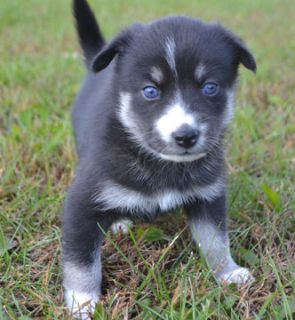 Pomsky PUPPY FOR SALE ADN-101569 - Pomsky Puppies