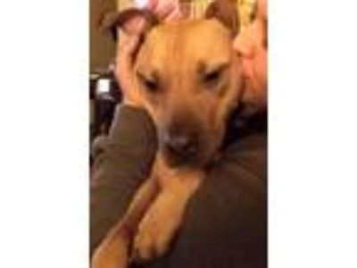 Adopt Newk a Brown/Chocolate - with Black Pit Bull Terrier / Mixed dog in