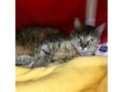 Adopt Ophelia a Brown Tabby Domestic Shorthair (short coat) cat in Wheaton