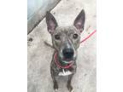 Adopt Callie a Brindle Pit Bull Terrier / German Shepherd Dog / Mixed dog in