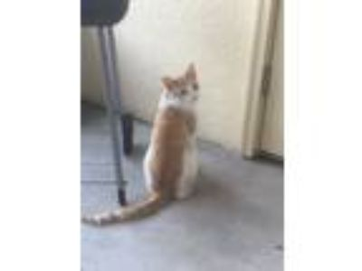 Adopt Louie a White (Mostly) Domestic Shorthair cat in Bartow, FL (25594291)
