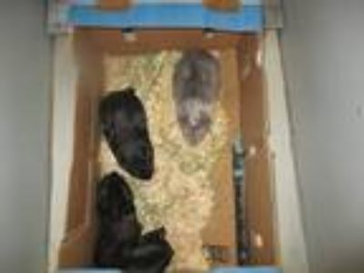 Adopt 123670 a Black Guinea Pig small animal in Olympia, WA (25547998)