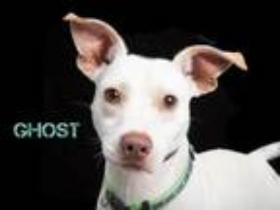 Adopt GHOST a Labrador Retriever