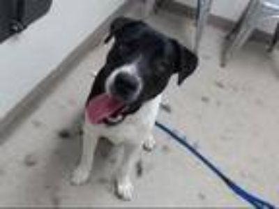 Adopt FELIX a White - with Black Labrador Retriever / American Pit Bull Terrier