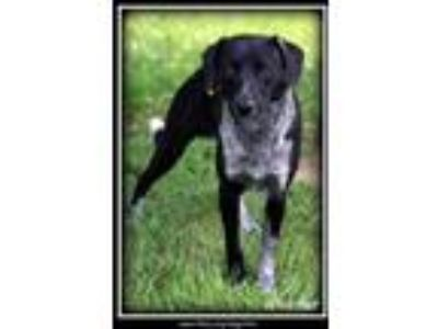 Adopt Whistler a Australian Cattle Dog / Blue Heeler