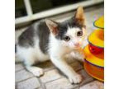 Adopt Charm a Domestic Shorthair / Mixed (short coat) cat in St.