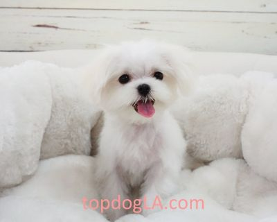 Maltese Puppy - Male - Gangnam ($2,899)
