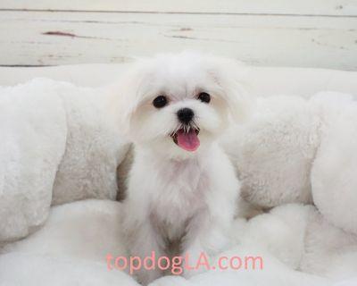 Maltese Puppy - Male - Gangnam ($2,899)