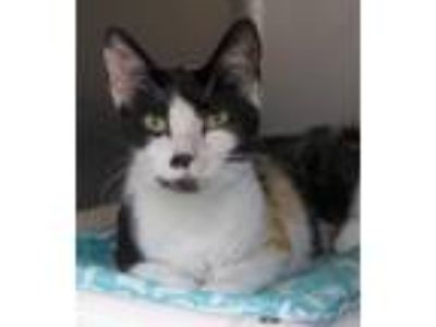 Adopt Wispy a Calico or Dilute Calico Domestic Shorthair / Mixed (short coat)