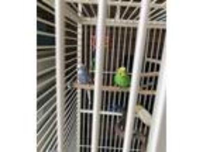 Adopt Ranger **Bonded with Buddy** a Parakeet (Other)