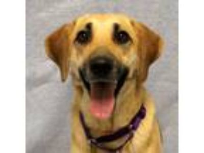 Adopt Marigold- PAL Dog on Deck! a Labrador Retriever, Mixed Breed