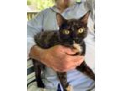 Adopt Elizabeth a Tortoiseshell, Domestic Short Hair