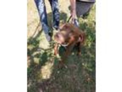 Adopt Duke a Brown/Chocolate - with White Labrador Retriever dog in Beverly
