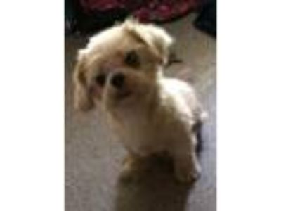 Adopt Mabel - Foster or Adopter Needed! a Shih Tzu