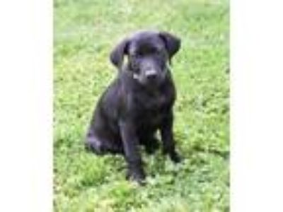Adopt Ferris Wheel a Labrador Retriever