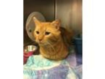 Adopt Heartland a Orange or Red Domestic Shorthair / Domestic Shorthair / Mixed