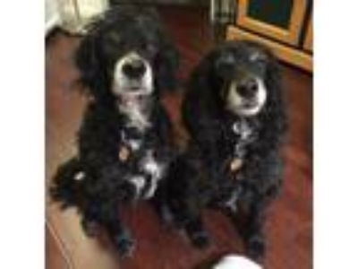 Adopt Max and Mickey a Cocker Spaniel