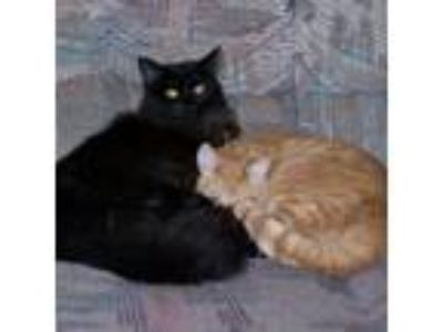 Adopt Ginger (& Midnight) [CP] a Maine Coon