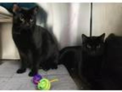 Adopt Skye and Shilo a Domestic Shorthair / Mixed (short coat) cat in Quincy