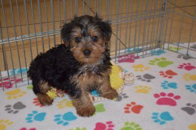 Yorkshire Terrier PUPPY FOR SALE ADN-109072 - Yorkshire Terrier Puppy