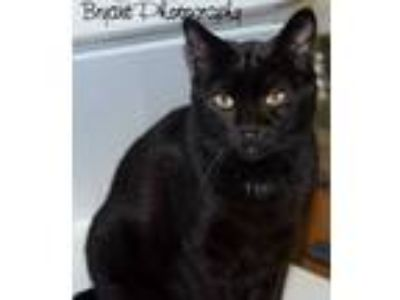 Adopt Baily a Domestic Short Hair