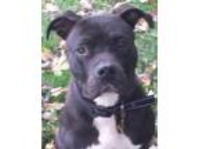 Adopt Bouncer a Pit Bull Terrier
