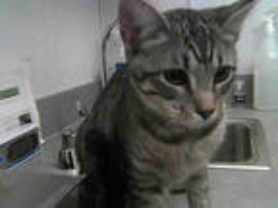 Adopt MCGONAGALL a Gray, Blue or Silver Tabby Domestic Shorthair / Mixed (short
