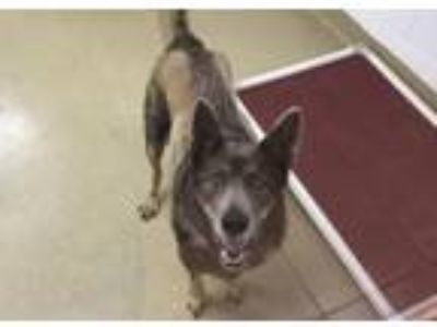 Adopt Dora a German Shepherd Dog