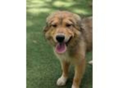 Adopt Malibu a Great Pyrenees, Collie