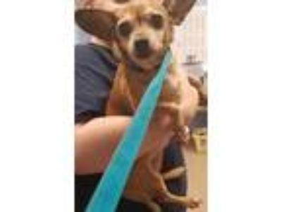 Adopt Cynthia a Tan/Yellow/Fawn Mixed Breed (Small) / Mixed dog in Chamblee
