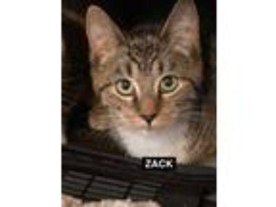 Adopt Zack a Tabby, Domestic Short Hair