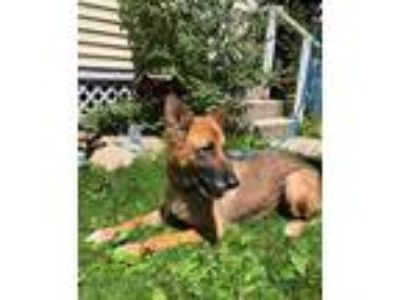 Adopt Molly a Tan/Yellow/Fawn German Shepherd Dog / Mixed dog in Bedford