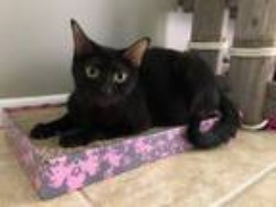 Adopt Coco a Domestic Short Hair