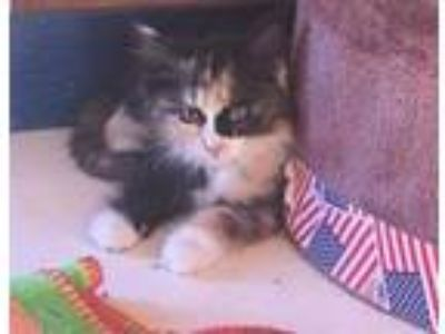 Adopt Toots a Domestic Long Hair