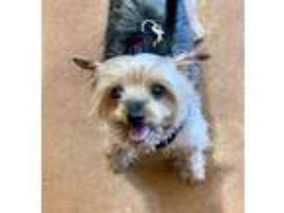Adopt Pal a Yorkshire Terrier