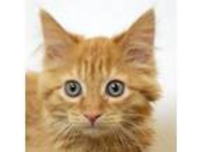 Adopt Griffin a Orange or Red Maine Coon / Mixed (long coat) cat in Huntley