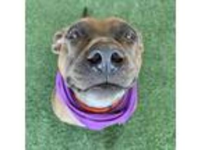 Adopt Trixie a Brown/Chocolate American Pit Bull Terrier / Mixed dog in Dallas